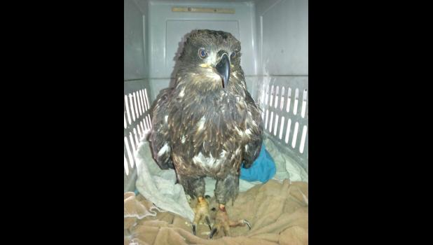 This young male bald eagle was found in a trap near Grand Junction on Jan. 5 as the Polar Vortex swept in. The eagle is fighting for survival at a raptor facility near Dedham in Carroll County.