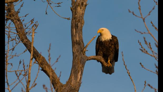 """""""Bald eagles are the earliest nesting species of bird in Iowa,"""" Wetrich says. """"Pair bonding behaviors can be seen in early January. One to three eggs are typically laid in late January and February, and are incubated for 35 to 40 days. Around 75 days old, young will take their first flight. It takes five years for bald eagles to acquire their white heads and tails."""""""