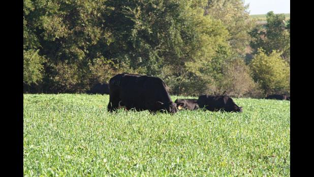 In addition to slowing runoff and reducing erosion, cover crops have grazing value for livestock producers.
