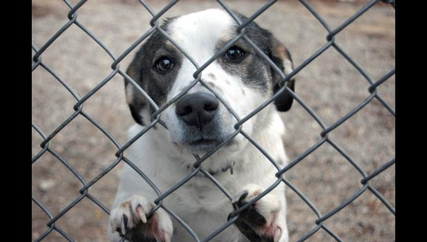 A dog looks out recently from the Greene County Animal Shelter. If she can make it through to adoption without getting stitches, she'll be one of the lucky ones at the local shelter.