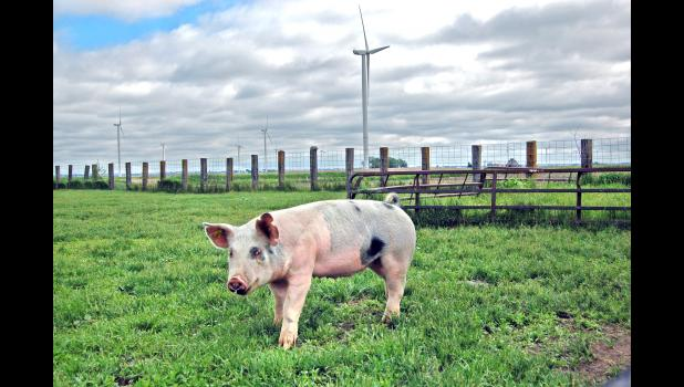 Greetings from Rippey, Iowa! One of Hugh and Denise Gannon's gilts wanders through a grassy area, as wind turbines turn in the background. The Gannons are now a rarity among farmers: not only do they raise hogs outside of a confinement, they own them. When news broke recently that meatpackers were falling ill to COVID-19, they were able to quickly sell upwards of 100 hogs to a public worried about possible meat shortages. ANDREW McGINN | JEFFERSON HERALD PHOTOS