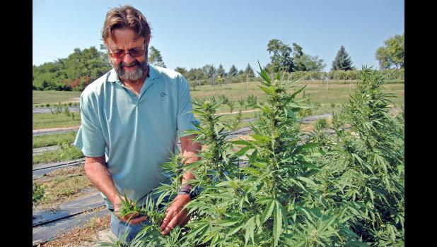 Kurt Krieger inspects one of the cannabis plants growing outside his family's greenhouse and flower shop in Jefferson. The Krieger family was granted one of the first state licenses this year to grow hemp, a type of cannabis with minuscule amounts of THC. With their hemp, they hope to soon dominate Iowa's burgeoning market for products containing cannabidiol, or CBD. ANDREW McGINN | JEFFERSON HERALD PHOTOS