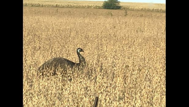 Jefferson attorney Jonathan Law snapped this photo Oct. 9 of Greene County's rogue emu in a field off P14. The flightless bird native to Australia can run nearly 30 mph.