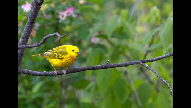 A male yellow warbler at Central Perch decides if it's safe to get a drink.