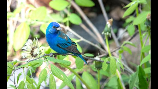 A male indigo bunting feeds on dandelion seeds.